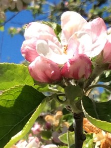 Apple blossom's from 1906 tree.